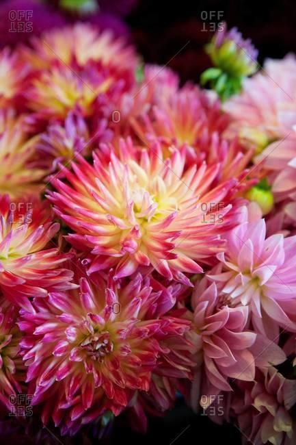 Cactus dahlias at a market