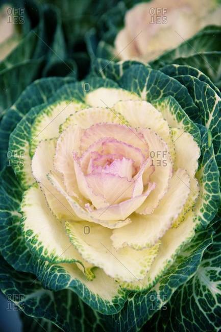 Close up of an ornamental cabbage