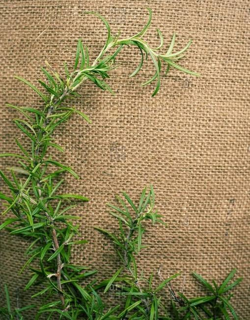 Close up of rosemary on burlap
