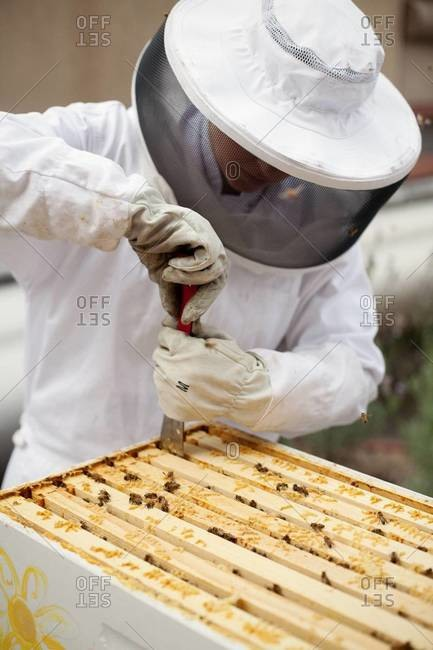 Apiarist getting a frame out of beehive