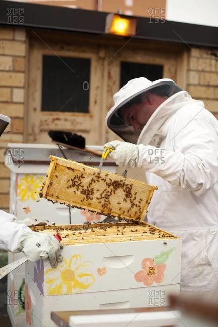 Apiarist holding a frame of honeycomb on bee yard