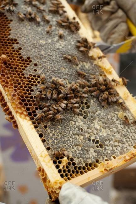 Apiarist holding a frame of honeycomb