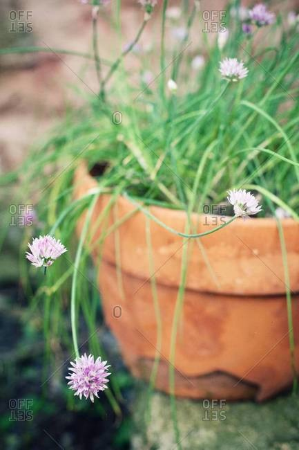 Chives blossoming in flower pot