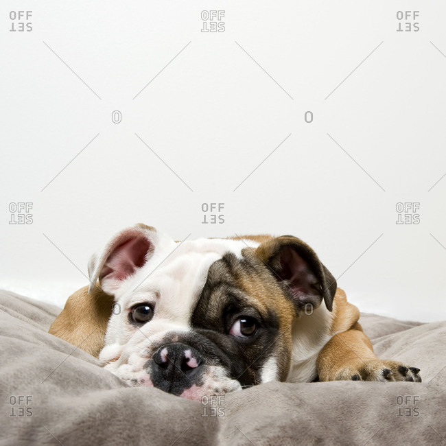 Puppy lays in his bed