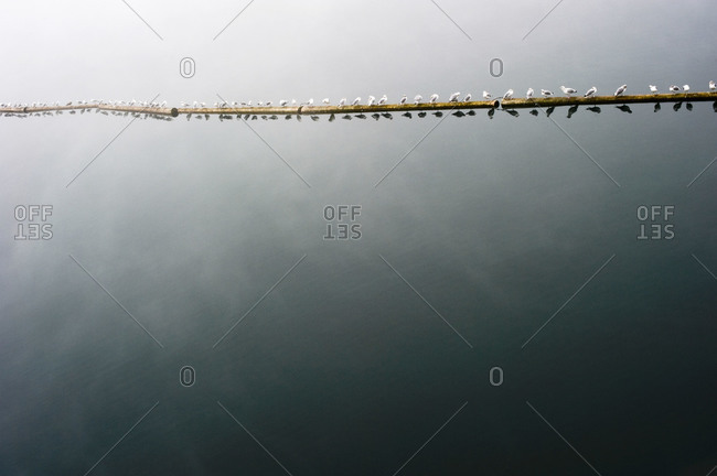 Birds perched on a floating log boom on a foggy day