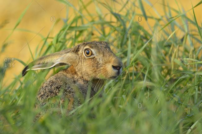 European brown Hare in field in summer, Hesse, Germany