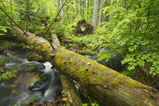 Fallen trees over Kleine Ohe in Beech Forest, National park Bavarian Forest, Bavaria, Germany