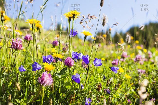 Bellflower, Red Clover and Arnica in meadow, Grindwlwald, Canton of Bern, Switzerland