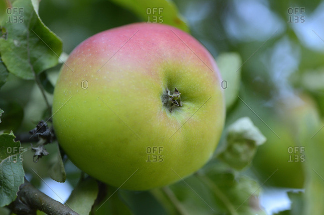 Close-up of apple on tree, Styria, Austria