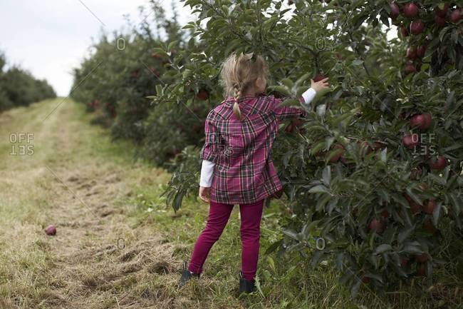 Girl picking apple in an orchard