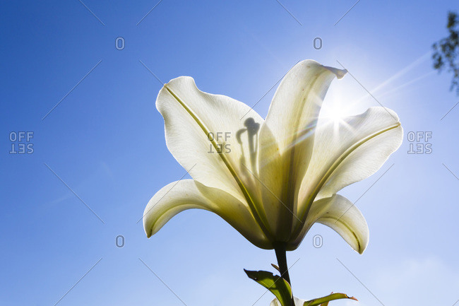 Close-up of Yellow Lily backlit with sun against blue sky, North Rhine-Westphalia, Germany