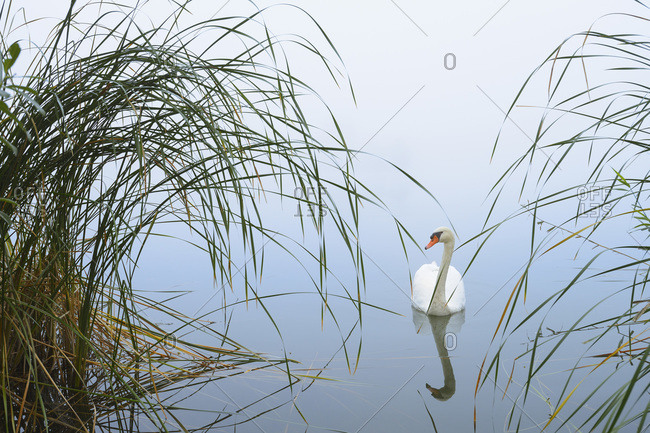 Mute Swans on Misty Lake in early morning, Hesse, Germany