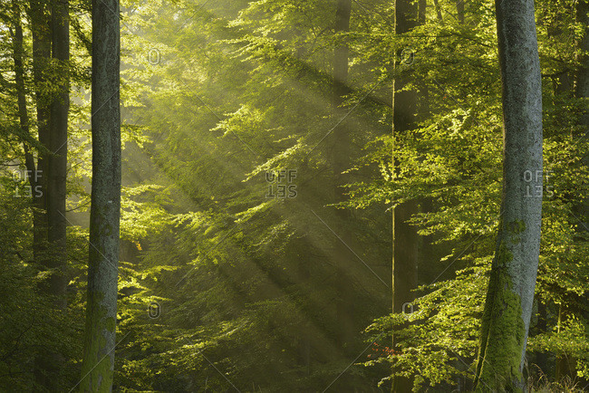 Sunbeams in European Beech Forest, Spessart, Bavaria, Germany