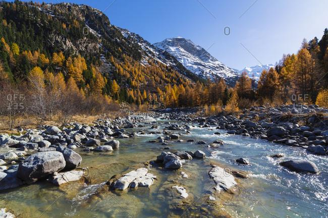 Larch trees in Autumn, Creek Ova da Morteratsch, Piz Bernina in background, Val Morteratsch, Canton of Graubunden, Switzerland