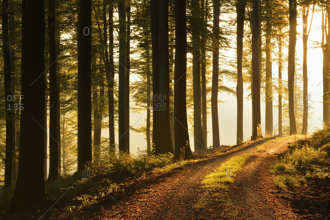 Road through beech forest at sunrise, Spessart, Bavaria, Germany, Europe