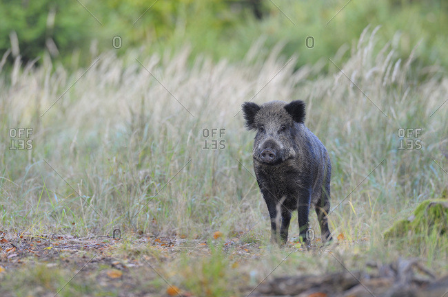 Wild boar, Spessart, Bavaria, Germany, Europe