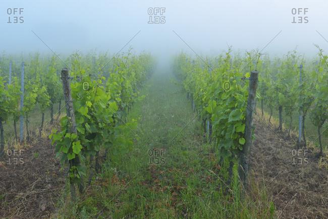 Vineyard at dawn, Centgrafenberg, Buergstadt, Franconia, Bavaria, Germany