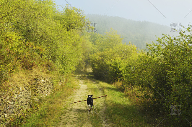 Border collie carrying stick on country road, Hesse, Germany