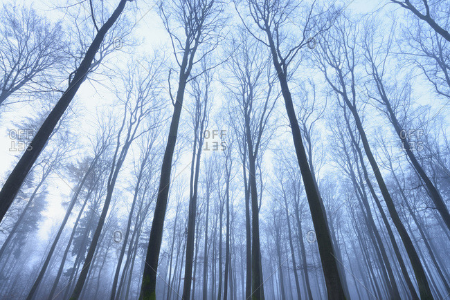 European Beech Forest in early morning mist, Spessart, Bavaria, Germany