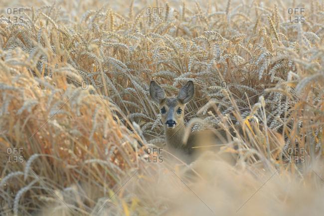Roe Deer fawn in wheat field, Hesse, Germany