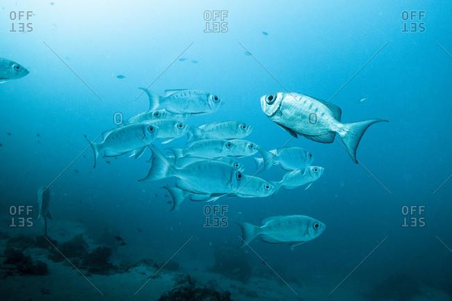 Schooling fish in Zanzibar, Tanzania.