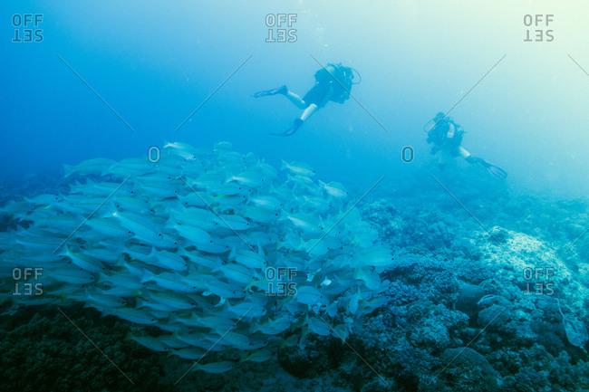 Scuba divers and schooling fish in Zanzibar, Tanzania