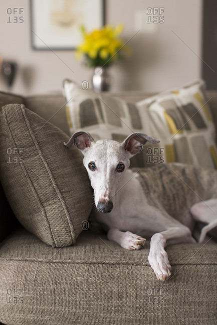 Whippet laying on couch inside a home