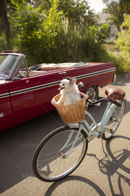 Papillon dog sitting in a bicycle basket next to a red classic car outside
