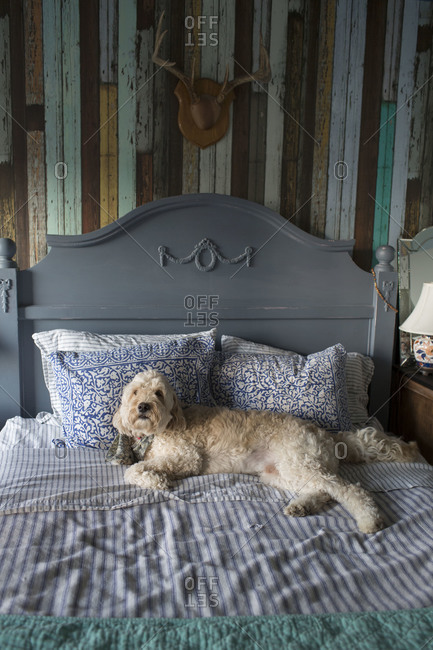 Goldendoodle laying on a bed against a headboard