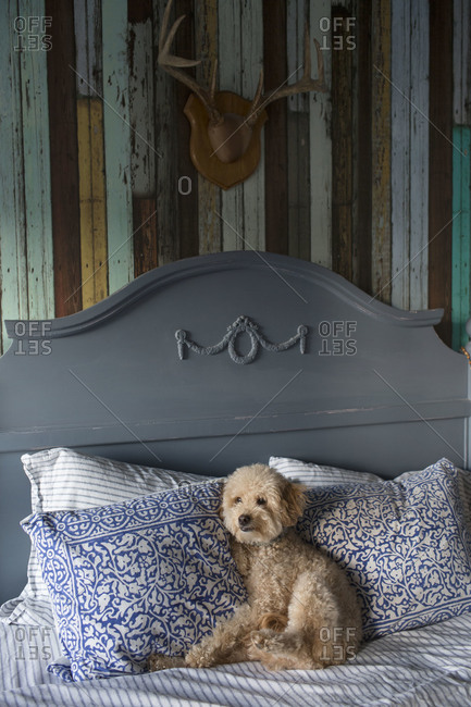 Goldendoodle sitting on a bed against a headboard