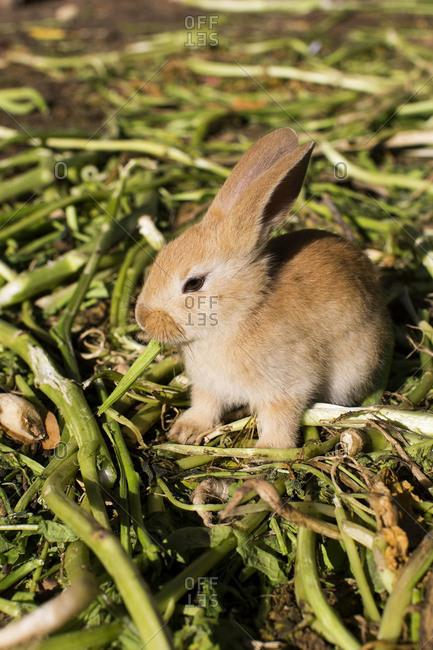 Baby rabbit eating plant stems