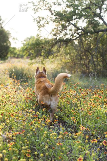 Dog walking through wildflowers outside in a field