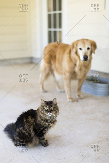 Maine coon cat and golden retriever dog standing on a porch outside