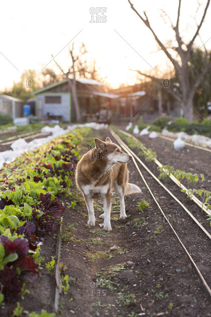 Dog standing in a farm bed outside at sunrise