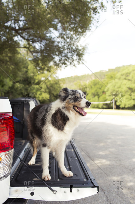 Dog standing on a truck tailgate at a park