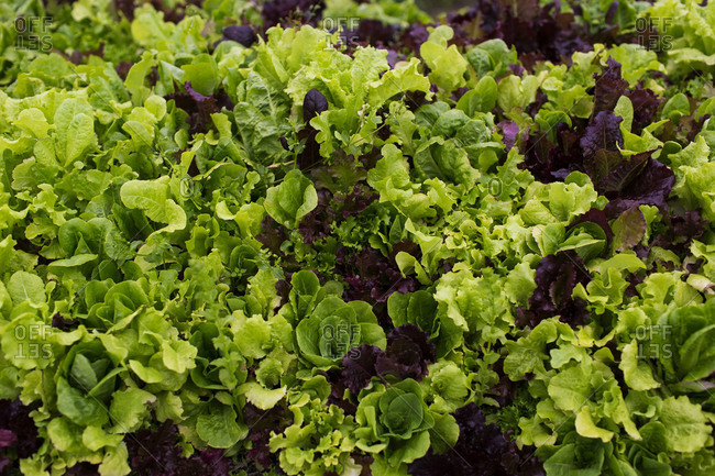 Lettuce ready for the harvest