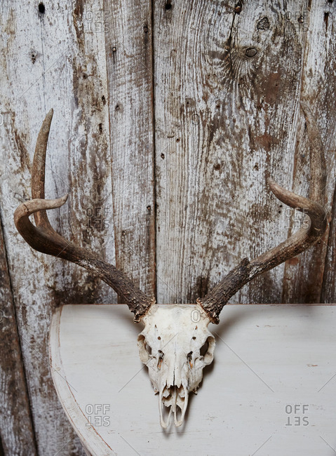 Animal skull on a wooden table