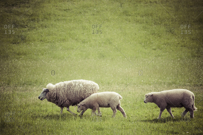 Germany, sheep and two lambs on the move