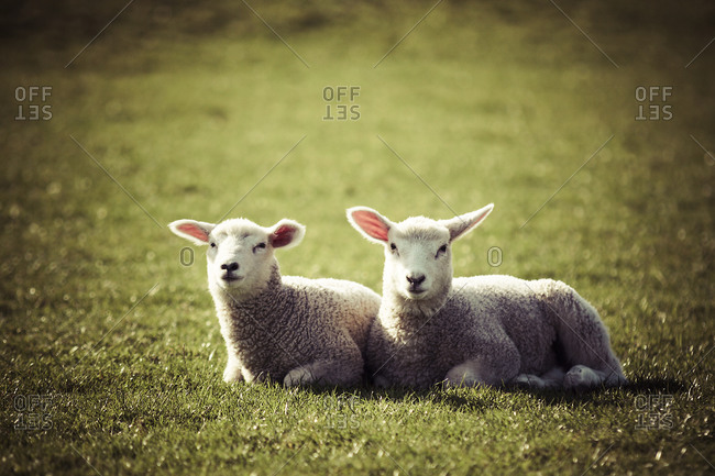 Germany, two lambs lying side by side on pasture