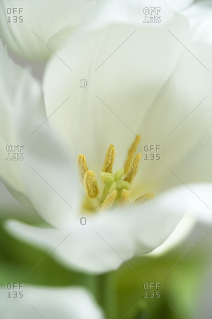 White tulip (Tulipa), cloe-up