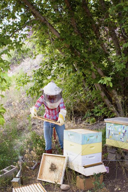 Full length of female beekeeper checking brood frame