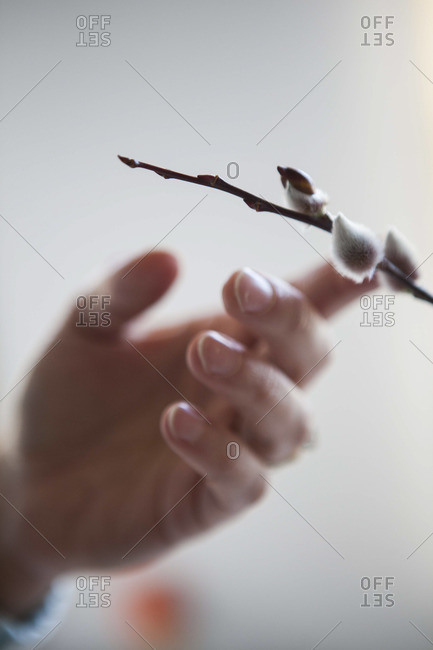A person touches a furry catkins bud