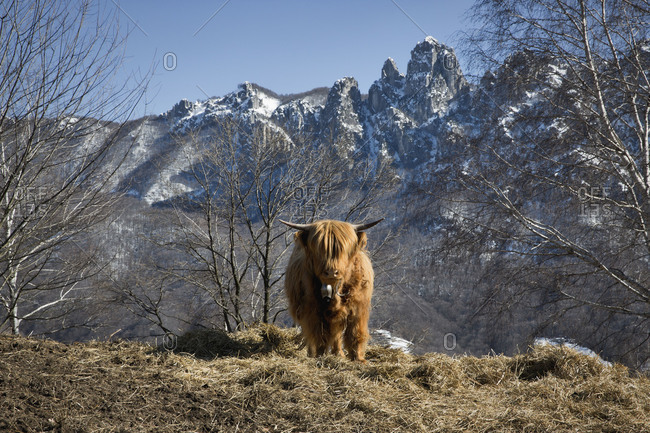Front view of a highland cattle