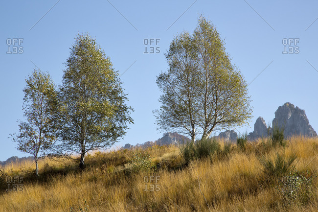 Birches trees in early autumn, Monte Roveraggio, Ticino, Switzerland