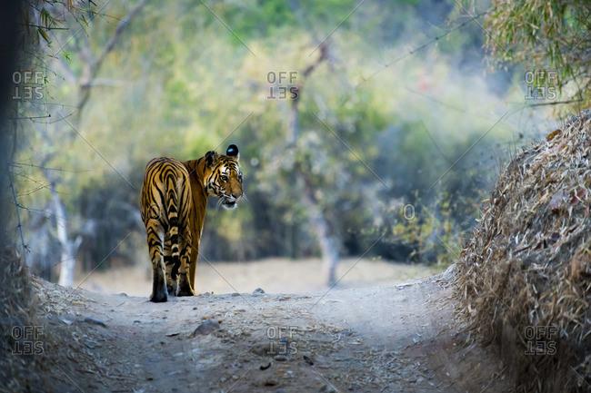 Tiger walking in Bandhavgarh National Park, India