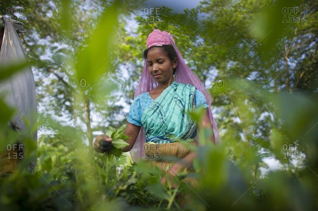 Workers picking tea, Darjeeling Tea garden, Nepal