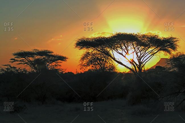 Acacia trees at the African savanna at sunset