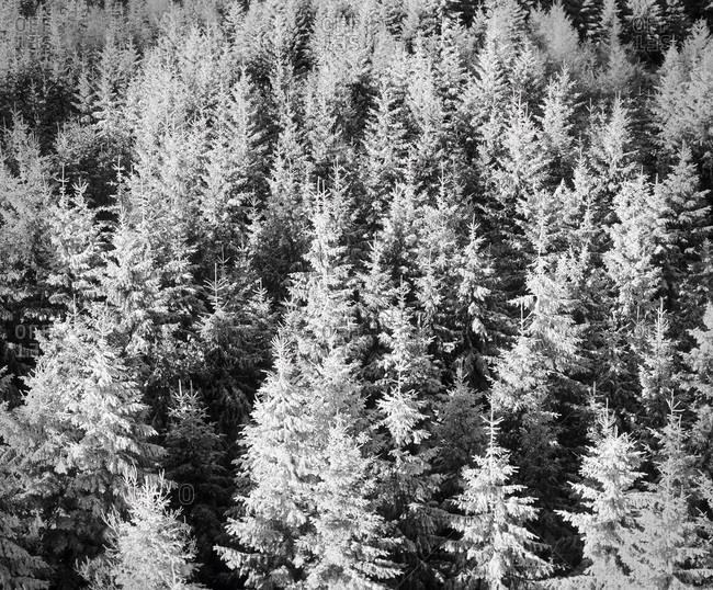 Snow-covered trees in winter, Nature Reserve, Kaltenbronn, Gernsbach, Black Forest, Baden Wurttemberg, Germany, Europe