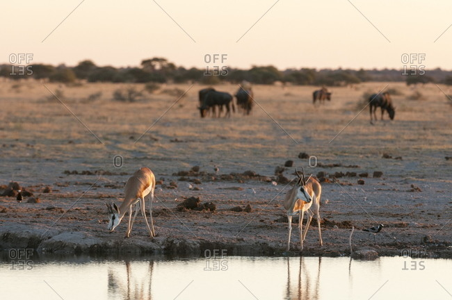 Springbok (Antidorcas marsupialis) at waterhole, Nxai Pan National Park, Botswana, Africa