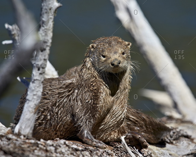 River Otter (Lutra canadensis), Yellowstone National Park, Wyoming, United States of  America, North America